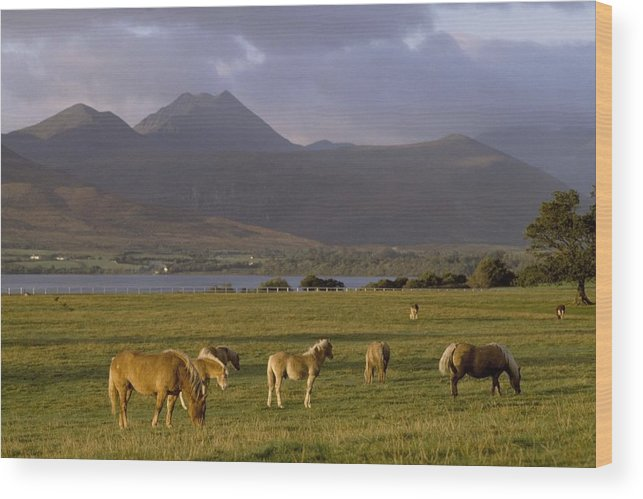 Ireland Wood Print featuring the photograph Horses Grazing, Macgillycuddys Reeks by The Irish Image Collection