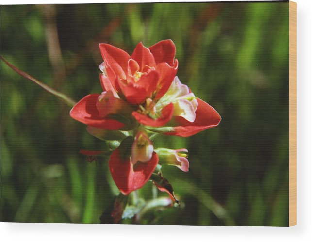 Indian Paintbrush Wood Print featuring the photograph Indian Paintbrush by Stephanie Smith