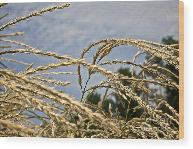 Outdoors Wood Print featuring the photograph Japanese Silver Grass by Susan Herber