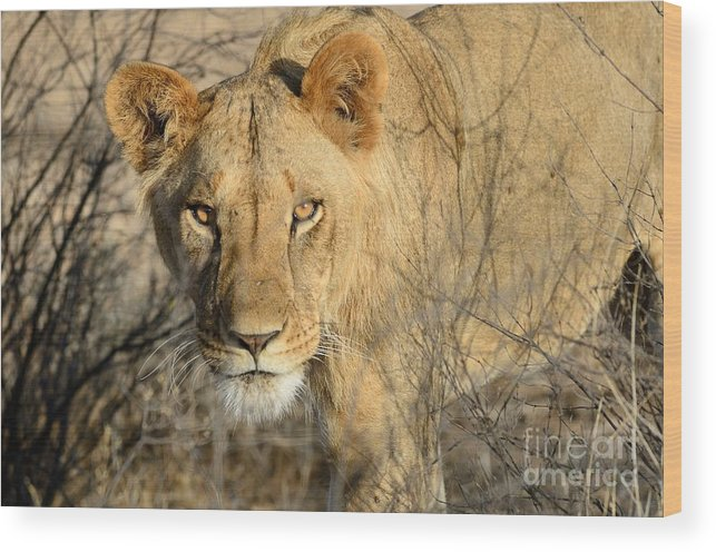 Lion Wood Print featuring the photograph Lion by Alan Clifford