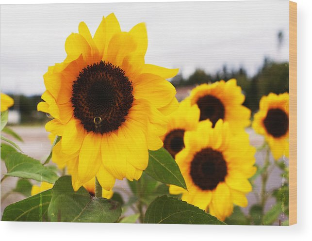 Yellow Beauty Wood Print featuring the photograph Looking At The Sun by Iuliana Pacso