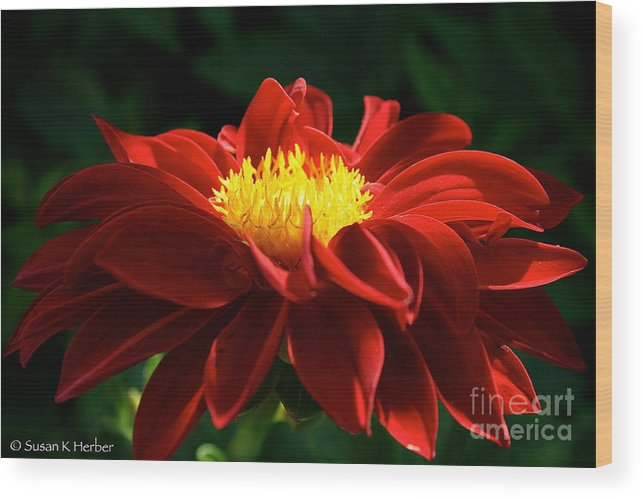 Outdoors Wood Print featuring the photograph Melody Mambo Dahlia by Susan Herber