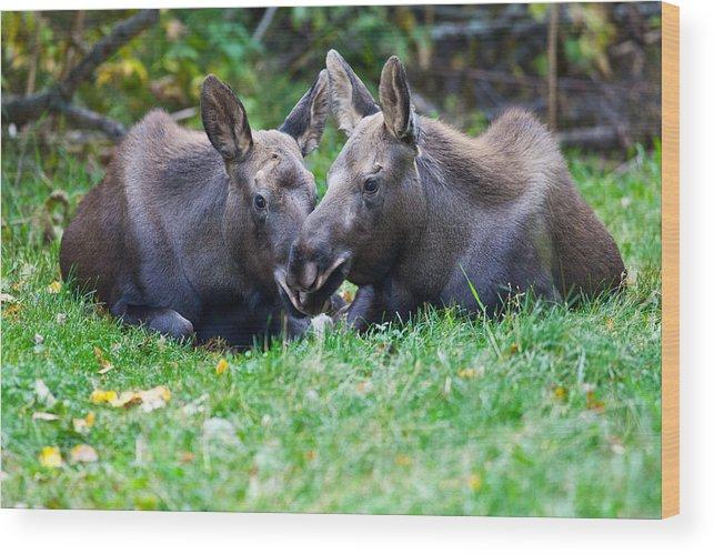 Alaska Wood Print featuring the photograph Moose Calves by Chris Heitstuman