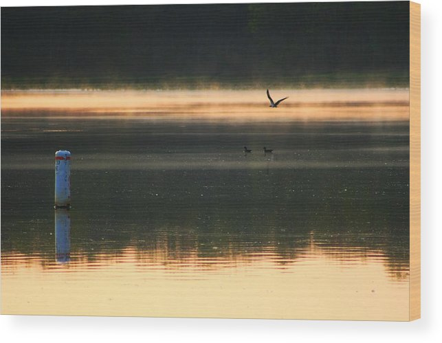 Osprey Wood Print featuring the photograph Morning Due by Phil Cappiali Jr