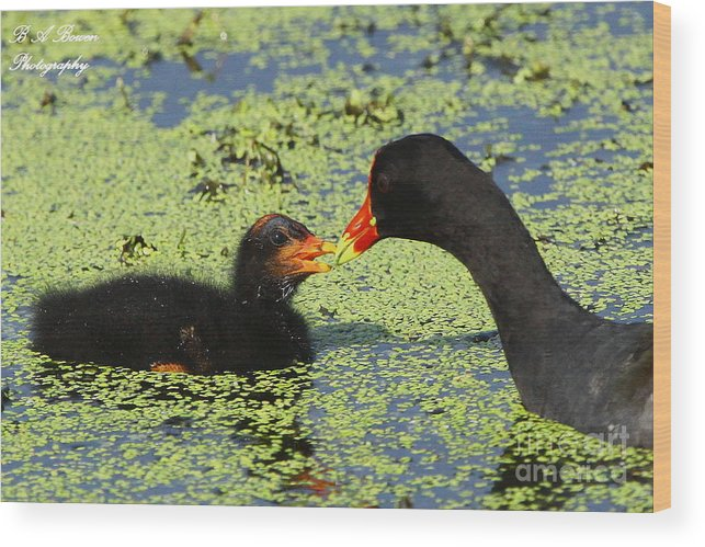 Common Gallinule Wood Print featuring the photograph Mother Common Gallinule Feeding Baby Chick by Barbara Bowen