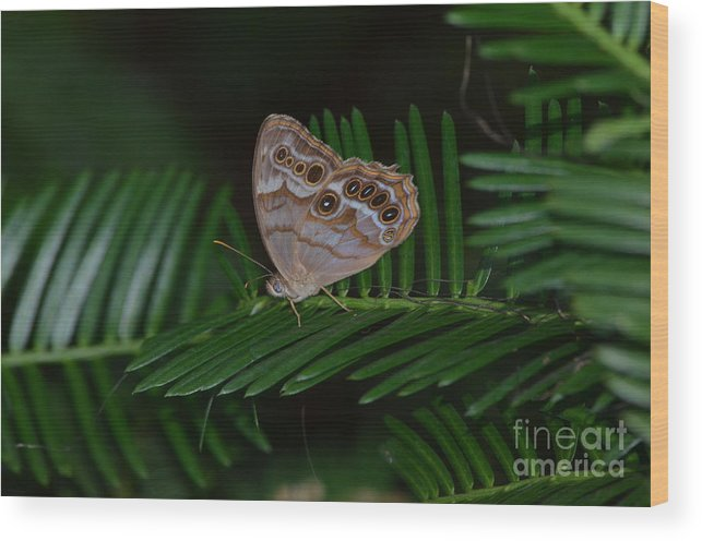 Northern Pearly Eye Butterfly Wood Print featuring the photograph Northern Pearly Eye by Kathy Gibbons