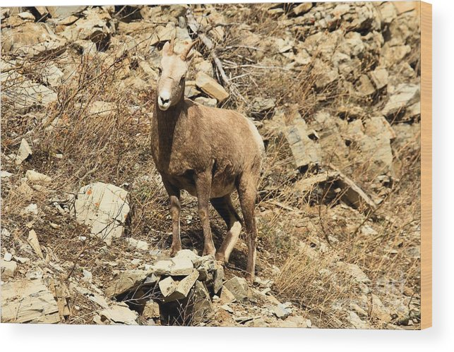 Big Horn Sheep Wood Print featuring the photograph Oh Really? by Adam Jewell