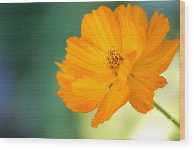 Flowers Wood Print featuring the photograph Orange Pedals by Derek Pisieczko
