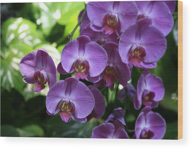 Flowers Wood Print featuring the photograph Orchid Beauties by Brieanna Stinemetz