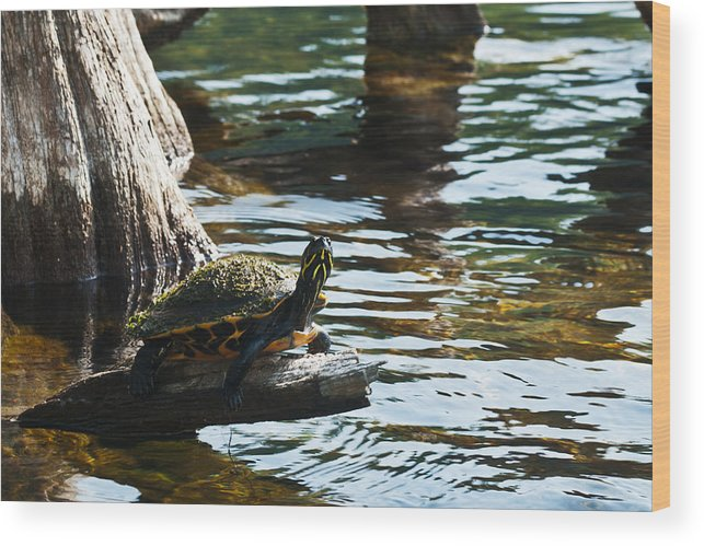 Reptiles Wood Print featuring the pyrography Out On A Limb by Frank Feliciano