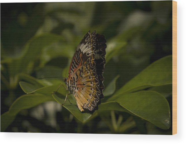 Butterfly Wood Print featuring the photograph Peaceful Rest by Stacy Lenz