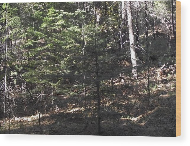 Pine Tree Wood Print featuring the photograph Pine Survivor Amongst Burned by Jayne Kerr