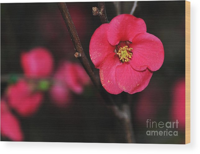 Photography Wood Print featuring the photograph Pink Blossom In The Evening by Kaye Menner