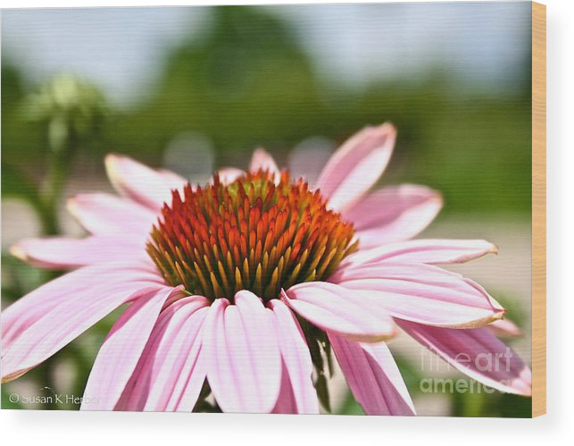 Garden Wood Print featuring the photograph Pink Cone Flower by Susan Herber