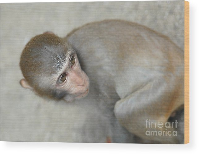 Poor Monkey Wood Print featuring the photograph Poor Monkey by Yury Bashkin