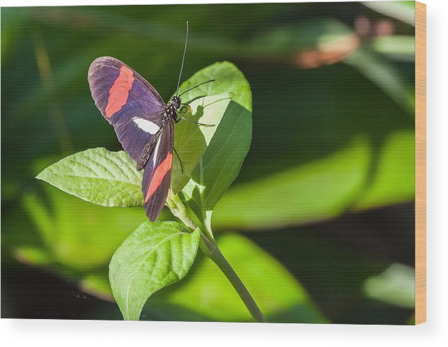 Butterfly Wood Print featuring the photograph Postman Butterfly by Craig Lapsley