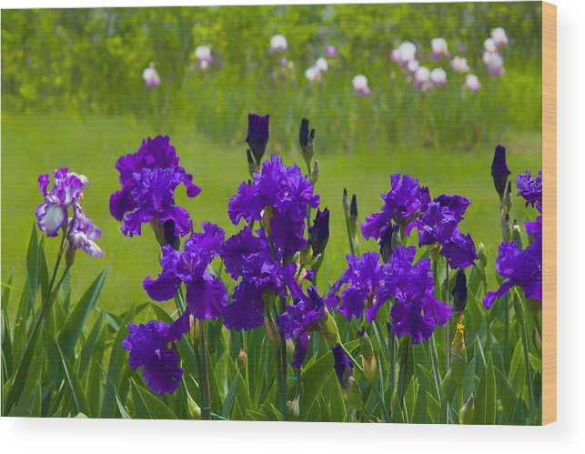 Purple Wood Print featuring the photograph Purple Iris by Ken Wolter