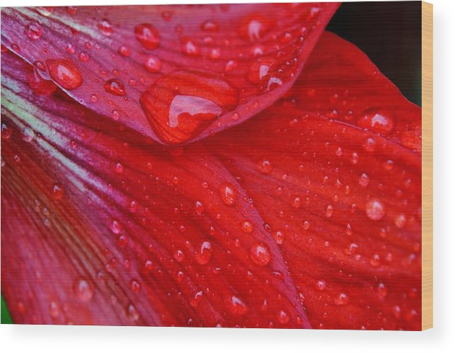 Petals; Flowering Bulbs; Amaryllis Flower; Close Up; Floral; Flower; Garden; Spring; Red; Beautiful; Big; Blossom; Green; Stem; Background; Raindrops; Droplets; Water; Wet; Tears; Wood Print featuring the photograph Raindrops On Amaryllis by Werner Lehmann