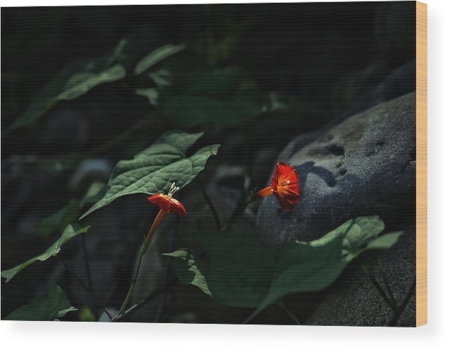Red Star Wood Print featuring the photograph Red Stars Along The Buffalo by Michael Dougherty