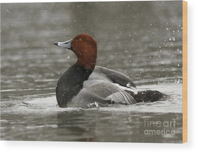 Canadian Wood Print featuring the photograph Redhead Duck Flapping Its Wings by Inspired Nature Photography Fine Art Photography
