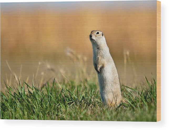 Flickertail Wood Print featuring the photograph Richardson's Ground Squirrel by Chris ODonoghue