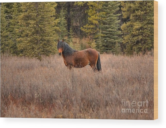Bachelor Stallion Wood Print featuring the photograph Rock Star by James Anderson