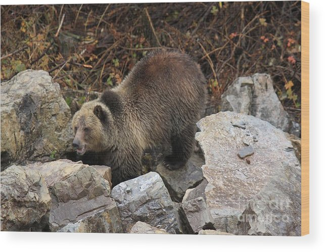 Grizzly Bear Wood Print featuring the photograph Rocky by Adam Jewell