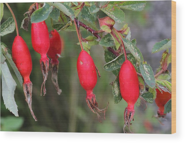 Doug Lloyd Wood Print featuring the photograph Rose Hips by Doug Lloyd