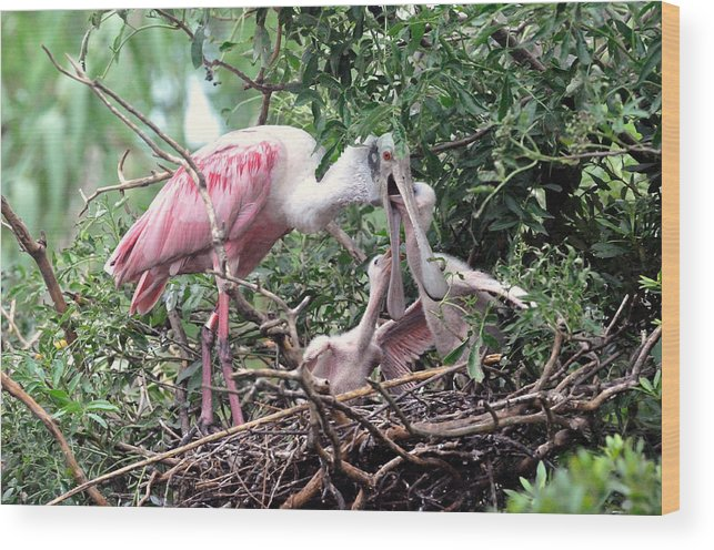 Wading Birds Wood Print featuring the photograph Roseate Spoonbill Nest by Ernst Schwarz