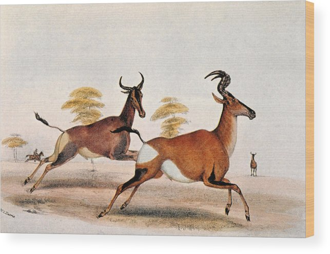 1841 Wood Print featuring the photograph Sassaby And Hartebeest, by Granger