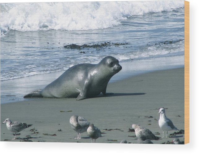 Elephant Seal Wood Print featuring the photograph Seal And Seagulls At Piedras Blancas Beach by Jan Cipolla