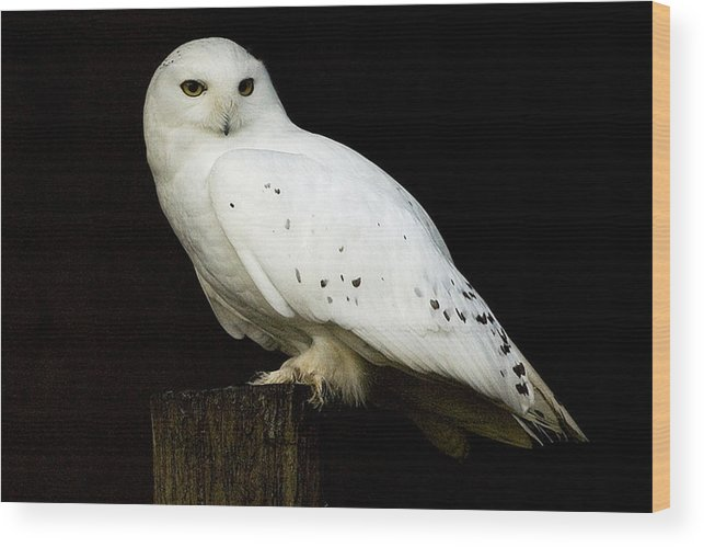 Snow Wood Print featuring the photograph Snowy Owl by Paul McGowan