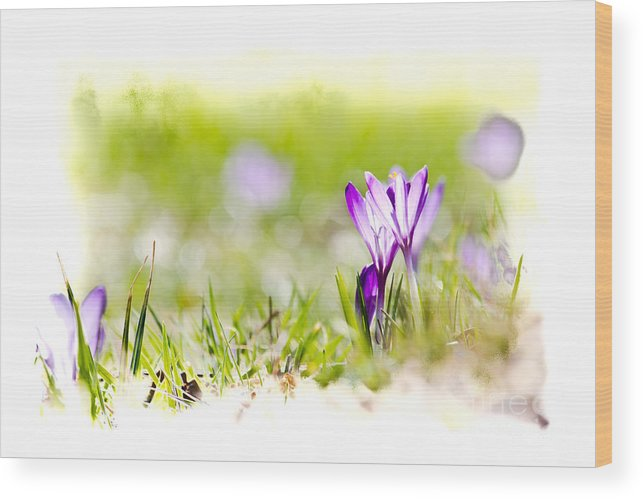 Crocus Wood Print featuring the photograph springtime - I by Olaf Schlueter