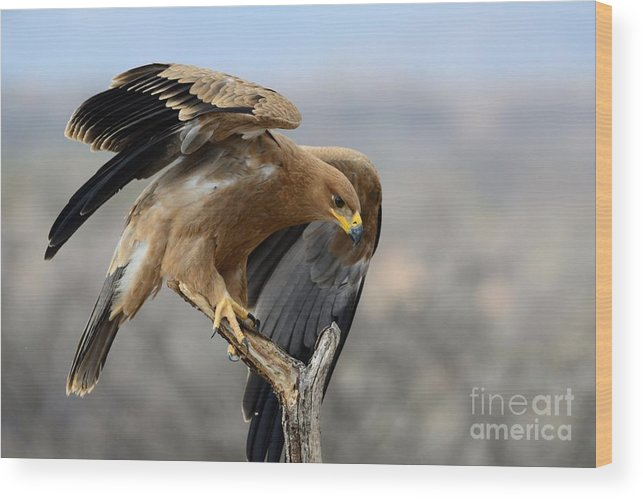 Buffalo Springs Wood Print featuring the photograph Tawny Eagle by Alan Clifford
