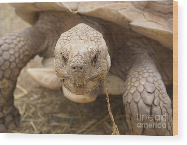 Tortoise Wood Print featuring the photograph The Tortoise by J Jaiam