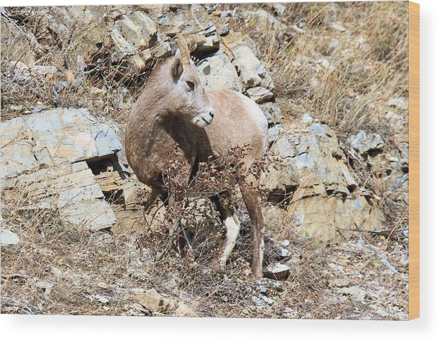 Big Horn Sheep Wood Print featuring the photograph The Twist by Adam Jewell