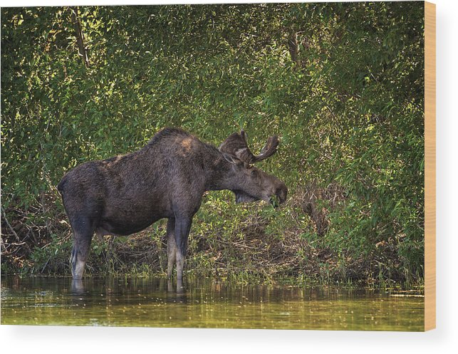 Canada Wood Print featuring the photograph This Is Our World - No.16 - Moose Eating By The Lake by Paul W Sharpe Aka Wizard of Wonders
