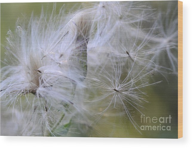 Thistle Seeds Wood Print featuring the photograph Thistle Seeds by Bob Christopher