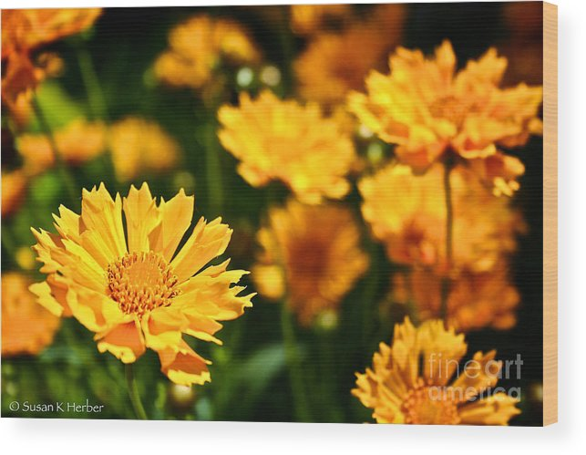 Garden Wood Print featuring the photograph Tickseed by Susan Herber