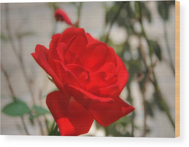 Red Rose Photograph Wood Print featuring the photograph Timeless Red Beauty by Ester Rogers