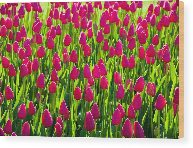 Pella Wood Print featuring the photograph Tulip Time by Jason Loving