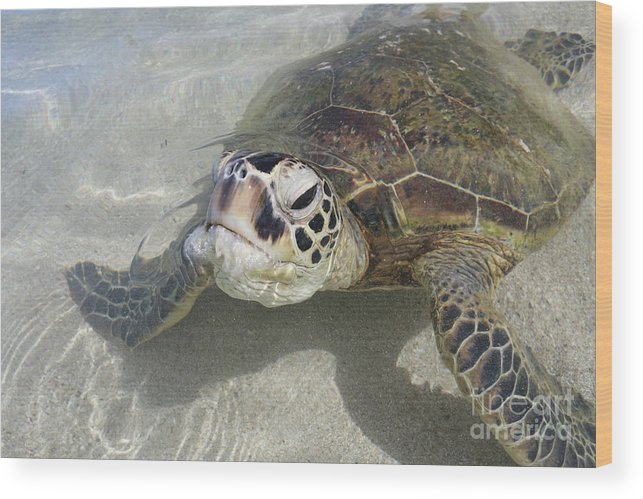 Turtles Wood Print featuring the photograph Turtle Love by Lori Whalen