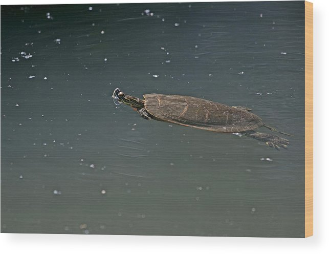 Turtles Wood Print featuring the photograph Turtle Time  by Eric Nelson