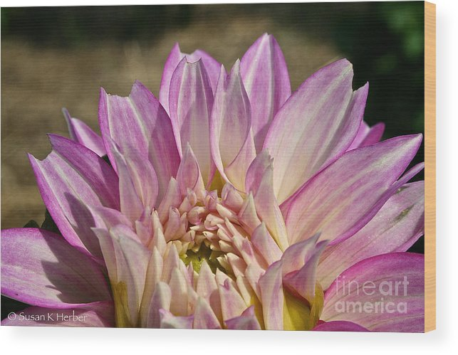Outdoors Wood Print featuring the photograph Unnamed Dahlia 3002 by Susan Herber
