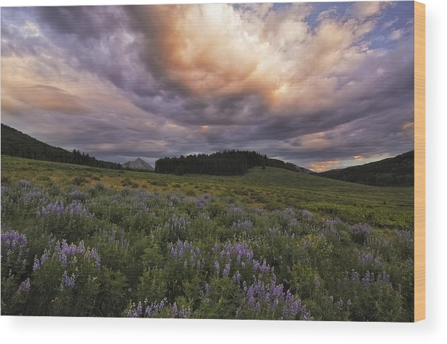 Lupines Wood Print featuring the photograph Washington Gulch Flowers by Joseph Rossbach