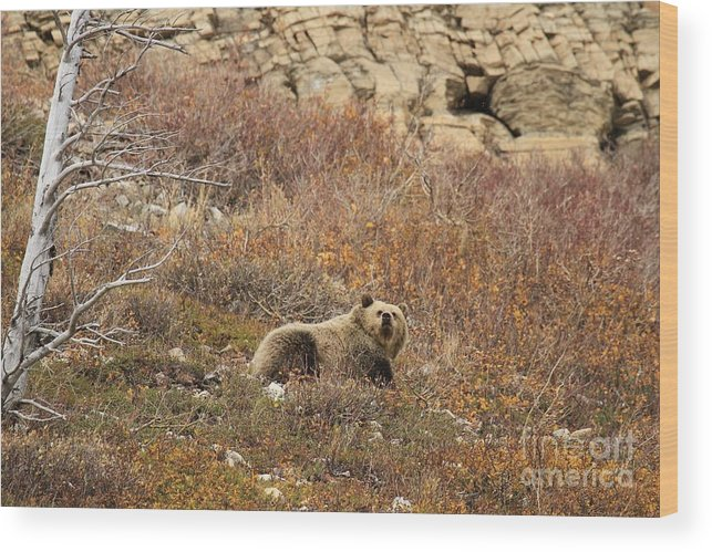 Grizzly Bear Wood Print featuring the photograph What A Beautiful Day by Adam Jewell