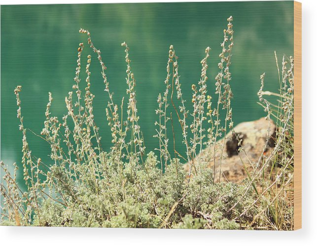 Background Wood Print featuring the photograph Wild Sage by Isabel Poulin