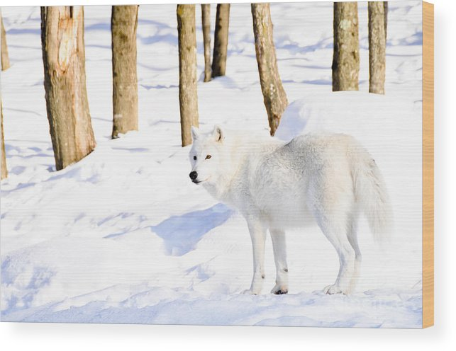 Arctic Wolf Wood Print featuring the photograph Winter Wolf by Cheryl Baxter