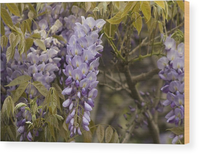 Wisteria Wood Print featuring the photograph Wisteria by Mark Michel