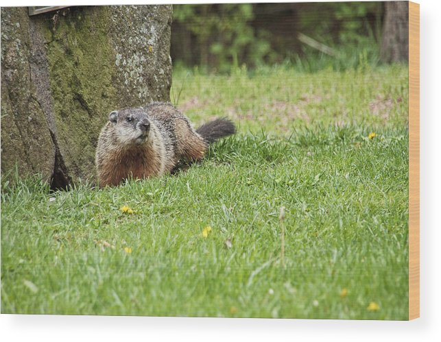 Woodchuck Wood Print featuring the photograph Woody by Wayne Stabnaw